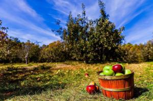 Apple picking at Carrigan Farms @ Carrigan Farms