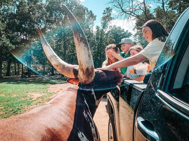 children feeding a longhorn from a truck at Lazy 5 Ranch Mooresville NC