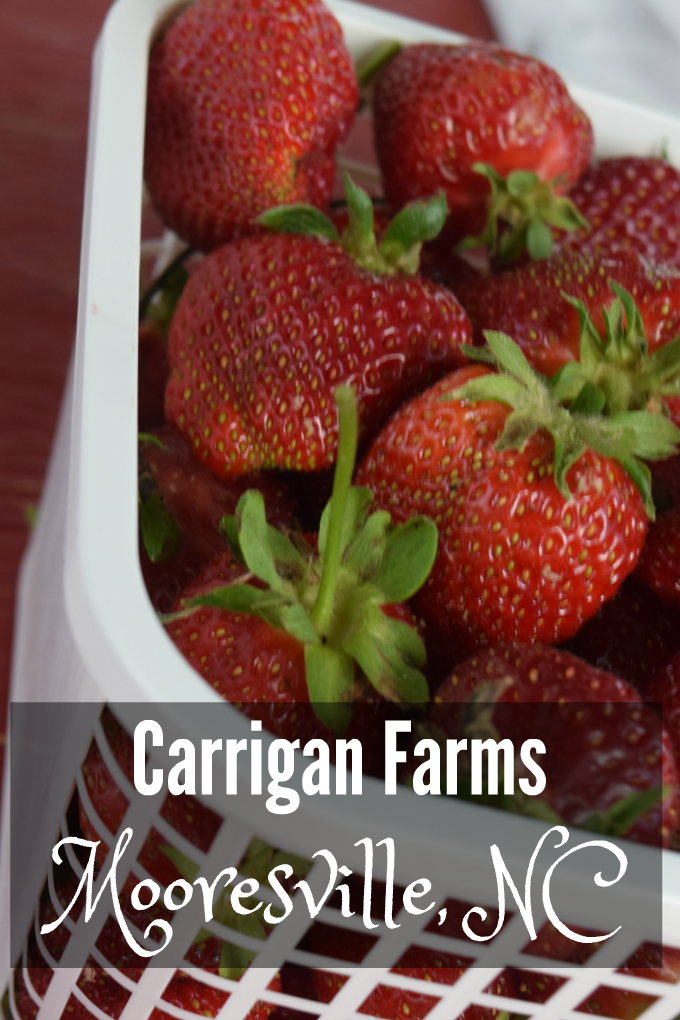 strawberry picking at carrigan farms